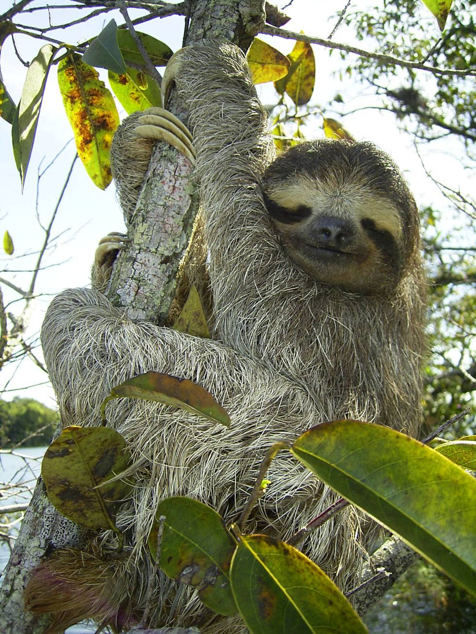 A three-toed sloth. (Credit: Wikimedia Commons/Stefan Laube)