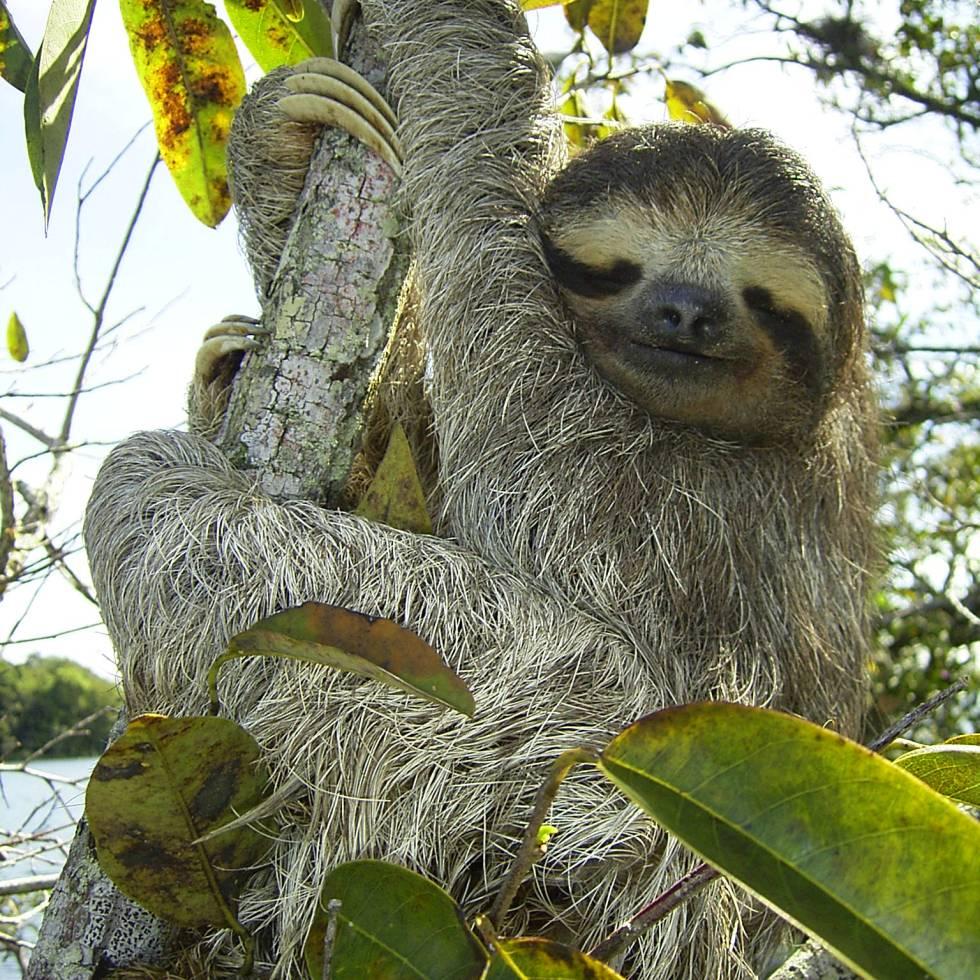 A three-toed sloth. (Credit: Wikimedia Commons/Stefan Laube)
