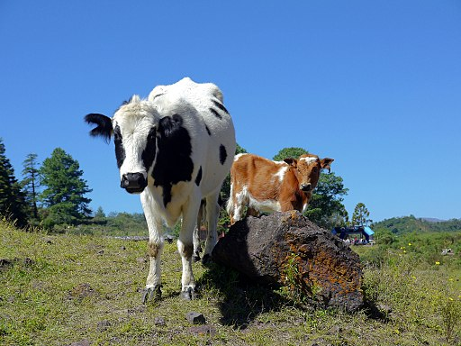 vacas argentina
